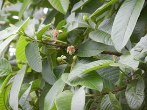 Baby guavas!