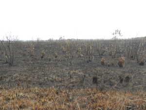Miles and miles of burned prairie and sugar cane crops, destroyed over a few days after lightning strikes and tossed cigarettes.
