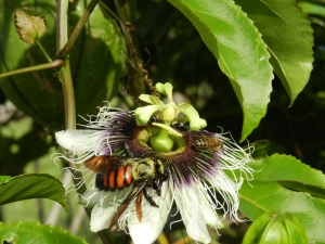 Passion fruit flower with a giant bee collecting nectar. You can see all the pollen on her back, which is great for cross-pollinating flowers! This giant bee is very docile and stingless. On the backside of the flower behind the stamens you can see a  smaller, common honeybee. The two get along just dandy.