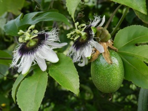 Passion fruit flowers and the actual fruit. One of my all-time favorite flowers. And they smell like lillies.