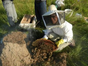 Here we are capturing a wild colony of bees that was living under a termite mound. These hives are very common in PY.
