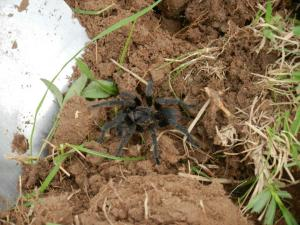 Yes, we have tarantulas. I met 7 of them when converting a piece of cow pasture to a garden. Muy peligroso!