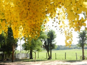 Illuvia de Oro tree (Rain of Gold)  last summer.
