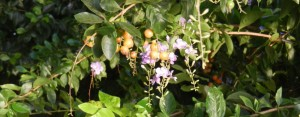 Paraguayan flowers