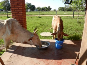 The girls had been out on pasture in the hot sun all day. When they were finally turned in near my house they drank all of my soapy laundry water like it was a cold margarita!