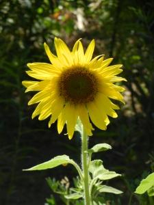 Sunflowers. Gotta love 'em