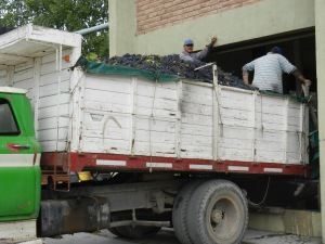 A truck delivering grapes to the winery in Mendoza, Argentina. Yes, the men stand in it and shovel them into the hopper.