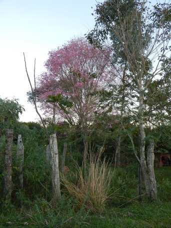Lapacho tree - yes, the entire canopy is purple (they also come in yellow!) Gorgeous.