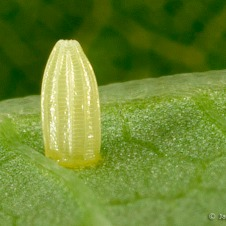 Tiny butterfly egg, the size of a pen tip. (stock photo)