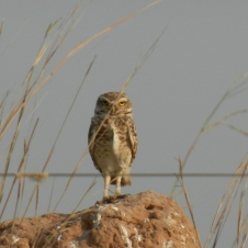 Burrowing owl perched atop a termite mound near the road on the way to my community. These guys are so cute and less than a foot tall.
