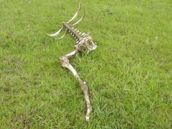 El Dia de los muertos - no Day of the Dead would be complete without a partial cow skeleton near the cemetery. Actually, this is not an uncommon sight in the campo.