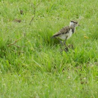 A baby tero tero bird